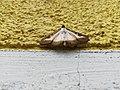 Unidentified-butterfly-20190610-145419.jpg