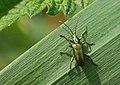 Unidentified Reed beetle (Donacia sp.), Parc de Woluwé, Brussels (18713940428).jpg