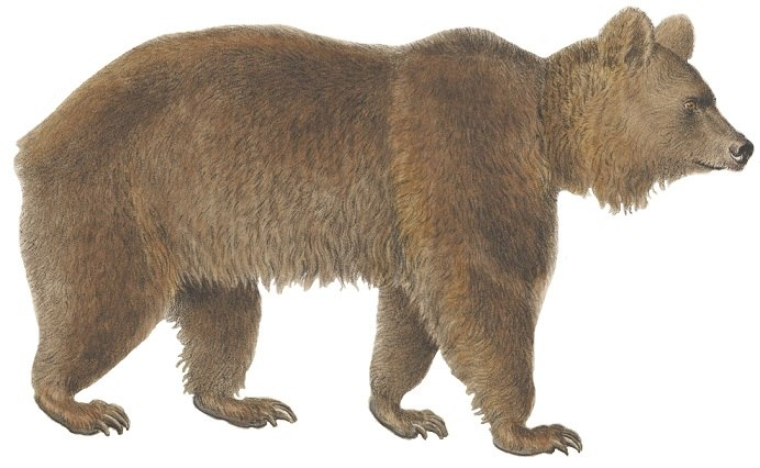 Ursus arctos - 1700-1880 - Print - Iconographia Zoologica - Special Collections University of Amsterdam - (white background)