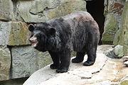 Ursus thibetanus ussuricus Kaliningrad Zoo
