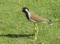 Vanellus indicus Chandigarh.jpg