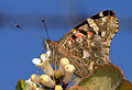 Vanessa cardui - Painted Lady butterfly 2.jpg