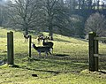 Venison on the hoof near Coulston - geograph.org.uk - 1771283.jpg