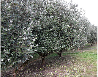Acca sellowiana - Feijoa orchard with fallen ripe fruit. Dax, Landes, southwestern France