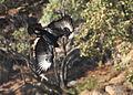 Verreaux's Eagle. Black Eagle, Aquila verreauxii (13896140918).jpg