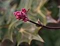 Viburnum × bodnantense dawn (70047).jpg