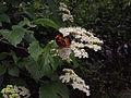 Viburnum dentatum - Arrowwood Viburnum.jpg
