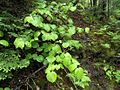 Viburnum lantanoides nb.jpg