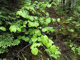 Viburnum lantanoides - Image: Viburnum lantanoides nb