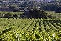 Vignoble de Bagnols.jpg
