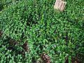 Vinca major, großblättriges Immergrün in der Hinsbecker Schweiz, Nettetal, Deutschland.JPG