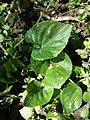 Viola alba subsp. violacea sl20.jpg