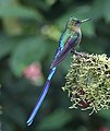 Violet-tailed sylph (47830903951).jpg
