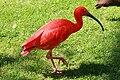 Vogelpark Walsrode - Freiflughalle - Eudocimus ruber 05 ies.jpg