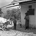 Vpreženi voli, Iršič Franc, pri Žnidarju, Stenica 1963.jpg