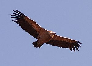 The Griffon Vulture, soaring.