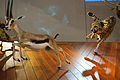 WLANL - thedogg - Jachtscene gazelle met cheeta.jpg