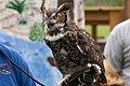 WR - Great Horned Owl 11 (5761919256).jpg