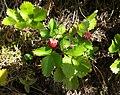 Wald-Erdbeere (Fragaria vesca).jpg