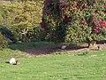 Wallaby's in Leonardslee Garden - geograph.org.uk - 1013437.jpg