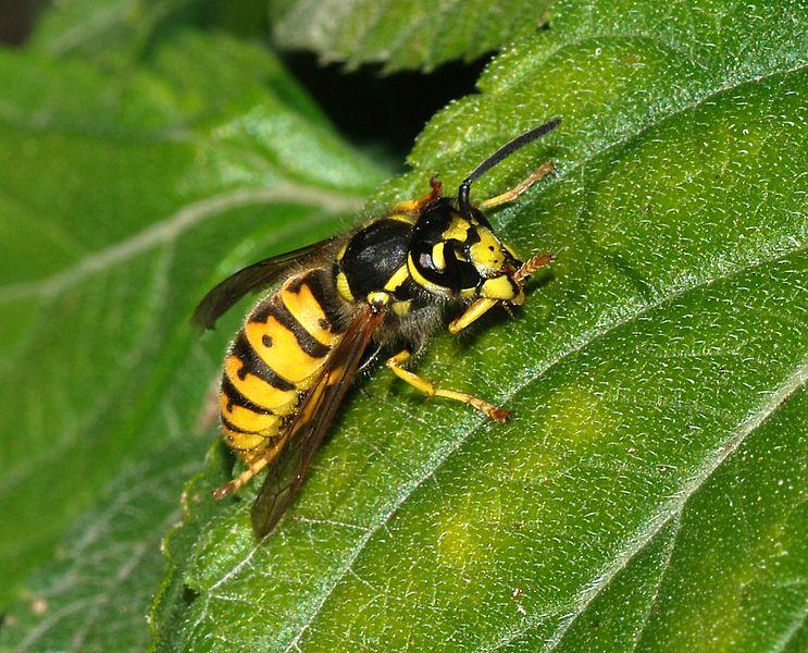 File:Wasp October 2007-7.jpg