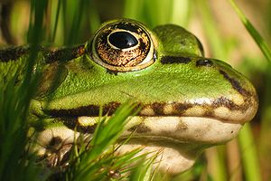 English: head of waterfrog (Rana esculenta) Fr...