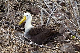 Waved albatross (26433701683).jpg