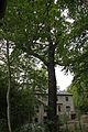 Weimar Naturdenkmal Stieleiche Belvederer Allee.jpg