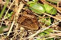 West Indian buckeye (Junonia evarete evarete) underside.JPG