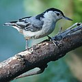 White-breasted nuthatch (7385409570).jpg