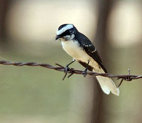 White-browed Fantail (Rhipidura aureola) at Sindhrot near Vadodara, Gujrat Pix 141.jpg