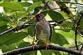 White-chinned thrush (Turdus aurantius).jpg