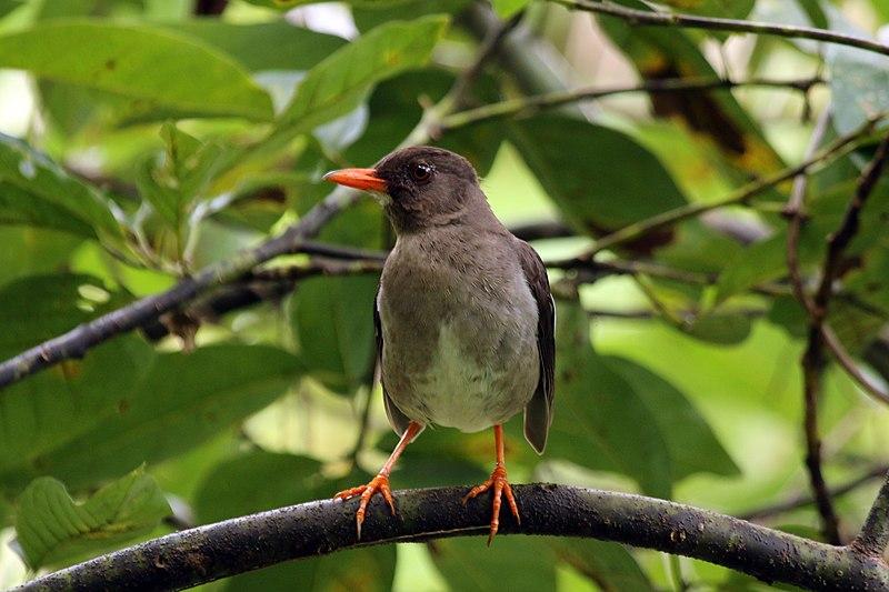 File:White-chinned thrush (Turdus aurantius).jpg
