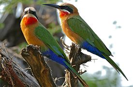 White-fronted Bee-eaters (Merops bullockoides) (17271847282).jpg