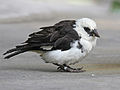 White-headed Buffalo Weaver RWD4.jpg