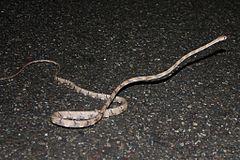 240px white spotted cat snake (boiga schultzei)3