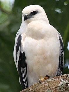 White hawk species of bird