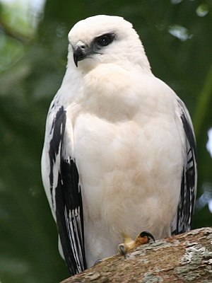 White hawk - Image: White Hawk 1 2496239182 cropped