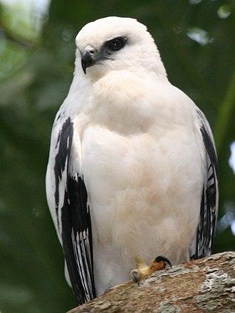 White hawk - Image: White Hawk 1 2496239182 cropped