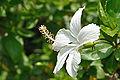 White Hibiscus 5827.JPG