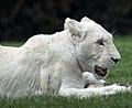 White Lion 3 (5017751621).jpg