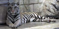 A सफ़ेद बाघ