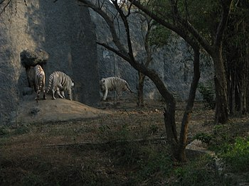 White Tiger Cooling Off in a Summer Evening. 13.jpg