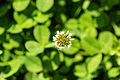 White clover (25629916446).jpg