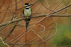 White throated bee-eater.jpg