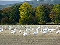 Whooper Swans, Balinroich. - geograph.org.uk - 1545099.jpg