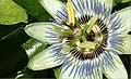 Wide passion flower.jpg