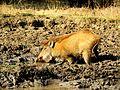 Wild Boar Ranthambore.jpg