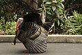 Wild Turkey (m) (16762690916).jpg