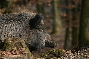 "Vanir - A wild boar in Northern Europe. In the Prose Edda, ""Van-child"" is listed as a name for boars. Both Freyja and Freyr are attested as accompanied by boars."